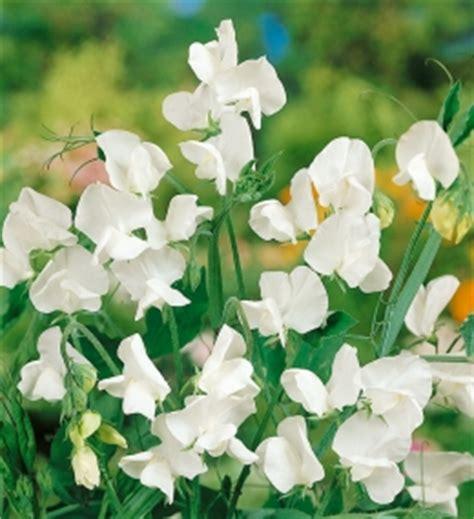 fiore pisello odoroso pin fiori odorosi on