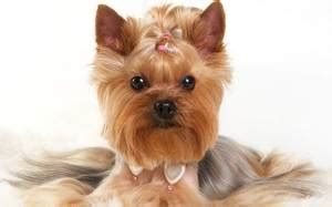 different cuts for yorkies yorkie haircuts for males and females 60 pictures yorkie