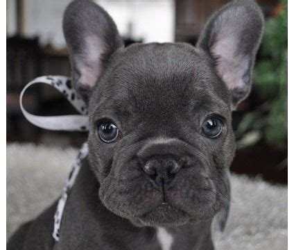 frenchton puppy frenchton dogs it