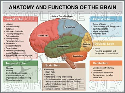 sections of the brain and functions sagittal brain anatomy