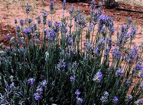 desert lavender my back yard pinterest