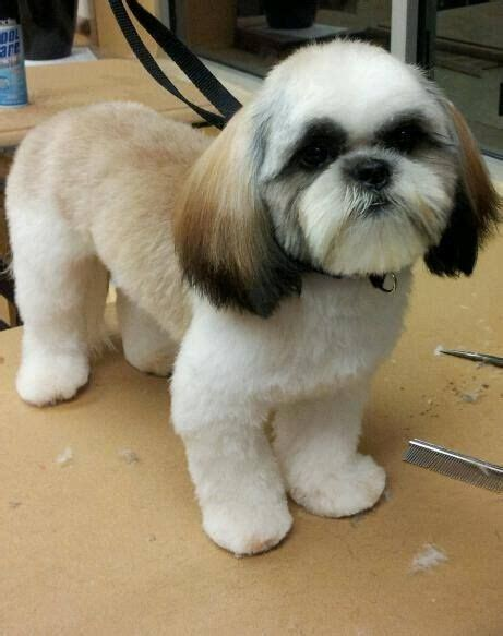 how to shave a shih tzu 17 best images about shih tzu grooms on plymouth cornwall and pets