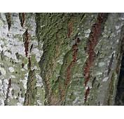 Wallpapers Tree Bark