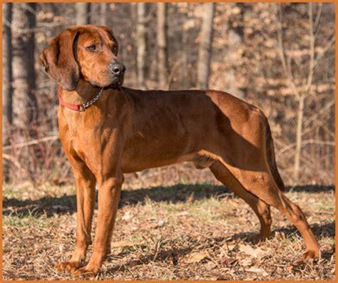 redbone hound puppies strong redbone coonhound puppies breeds puppies friendly redbone coonhound