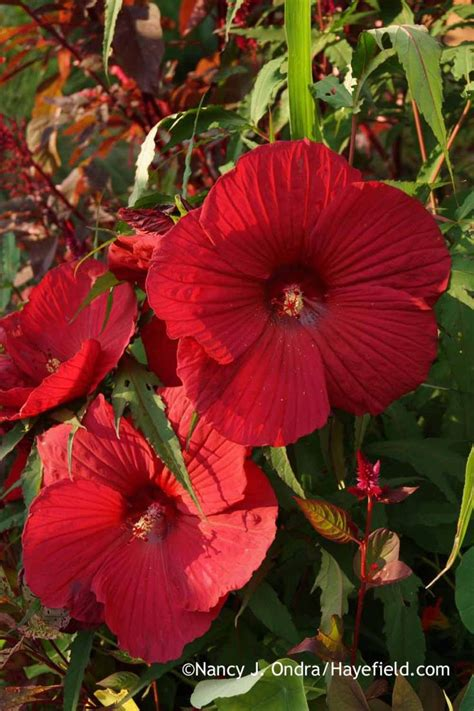 20 best images about hardy hibiscus on pinterest cherry