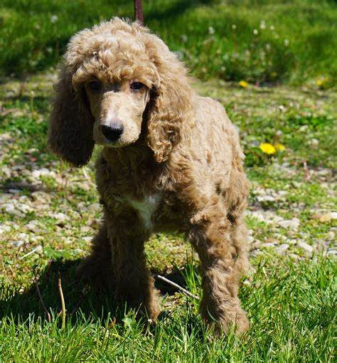 denver puppies for sale poodle puppies for sale denver photo