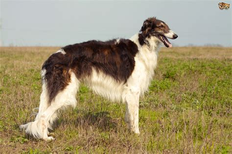 Borzoi Shedding by Borzoi Breed Information Buying Advice Photos And