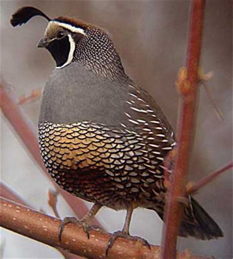 california state bird california valley quail
