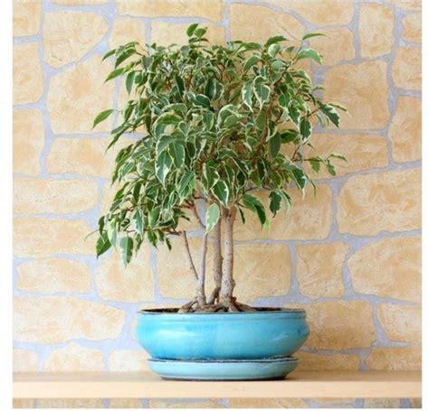 Ficus Benjamin Secco by Ficus Benjamin Piante Appartamento Coltivazione