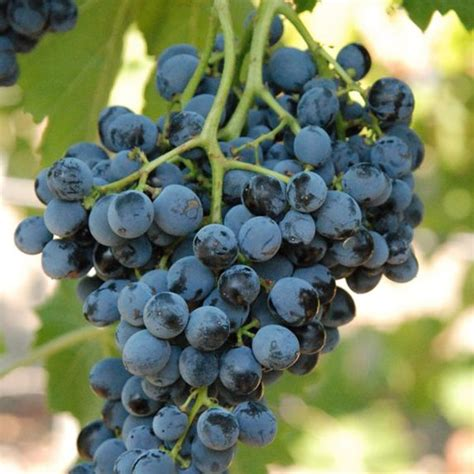vini da tavola i vini da tavola siciliani pomilia calamia vini