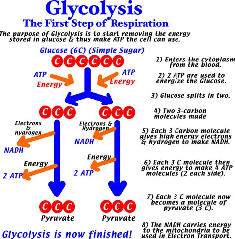 diagram of glycolysis image gallery simple glycolysis