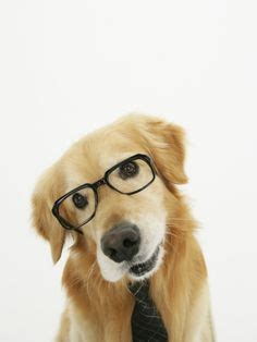golden retriever wearing glasses 1000 images about everybody wears eyeglasses on stylists glasses and dogs