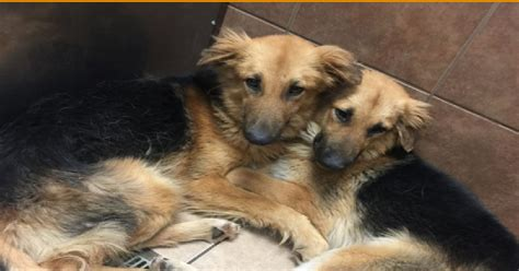 dogs that cannot touch each other after being dumped at a shelter two dogs cannot stop hugging each other