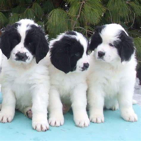 landseer puppies landseer breed guide learn about the landseer
