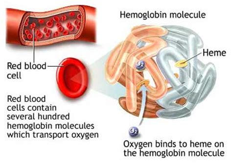 lactoferrin and anemia