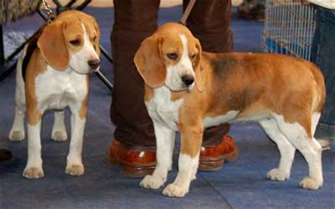 how much should a golden retriever puppy weigh health problems of beagle dogs