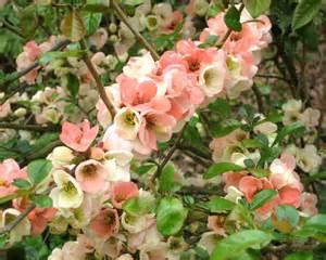 Garden Flower Plants Gardensonline Chaenomeles Speciosa