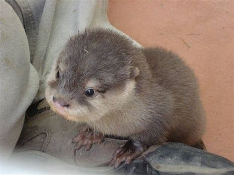 super friendly asian small clawed otters  sale exotic