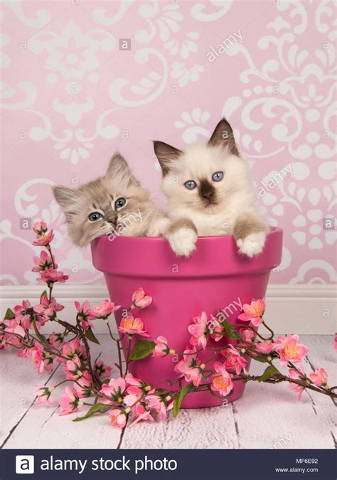 fiori di colore due rag doll baby gatti in un vaso di fiori di colore rosa