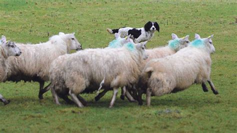 sheep no more the of awareness and attack survival books national sheep worrying conference to raise awareness of