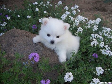 american eskimo puppies american eskimo puppy photo and wallpaper beautiful american eskimo puppy