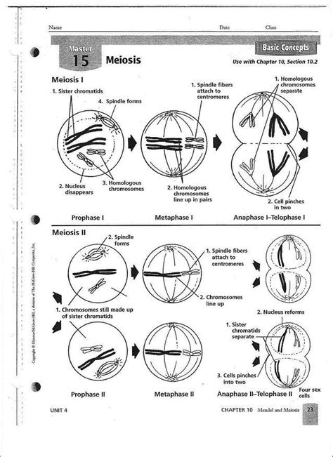 Meiosis Worksheets by Phases Of Mitosis Worksheet Answers Phases Of Meiosis