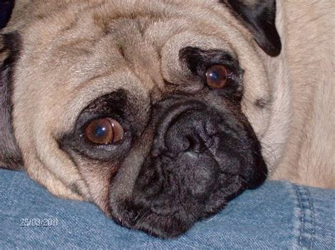 entropion in pugs issues bluegrass pug rescue
