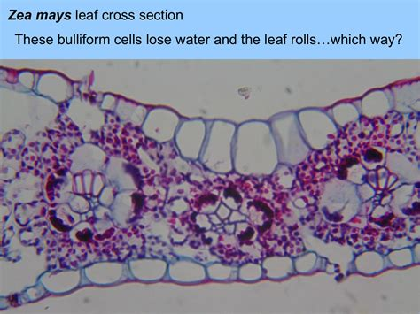 corn leaf cross section leaf homework slides