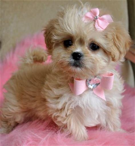 peekapoo puppies tiny peekapoo puppy adorable golden princess sold moving to new york toddler