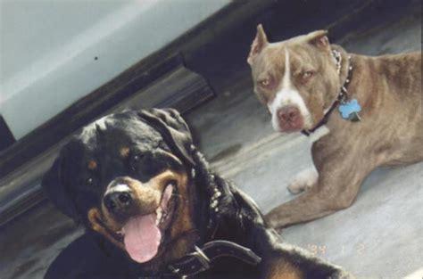 rottweiler pitbull puppies imperia caccia a cani che terrorizzano il quartiere liguria imperia il secolo xix