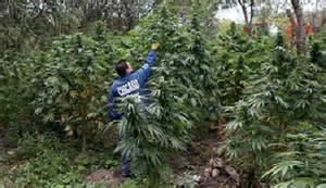 Giant marijuana farm discovered in chicago