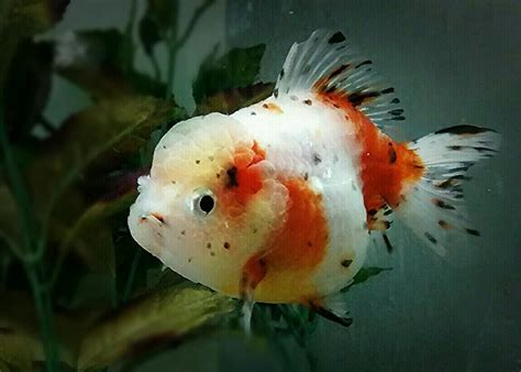 Oranda Rw Black Ranchu 15 different types of goldfish breeds caring pets