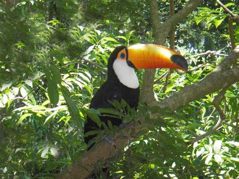 Toucan L by Animaux Oiseaux Le Toucan L Albatros Hurleur L