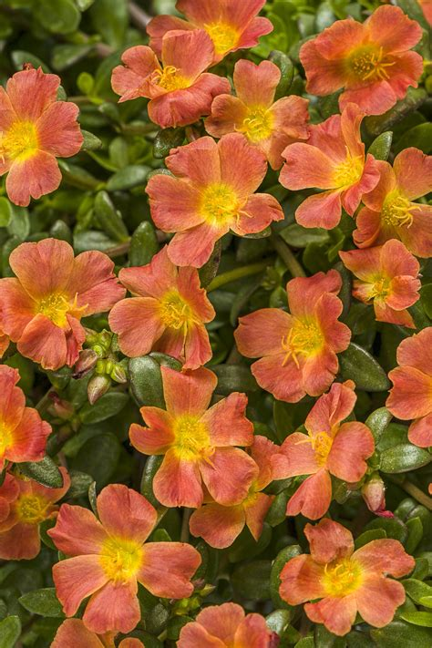 Mossrose Orange Lokal 5 Stek mojave 174 tangerine moss portulaca grandiflora proven winners