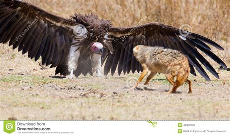 African House Plans by Fight Between Vulture And Wild Dog In Africa Stock Photo