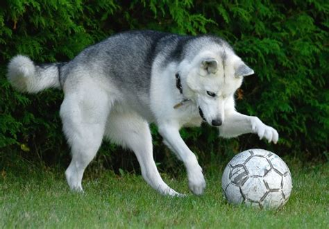 how to play with puppy 18 best images about dogs soccer on growing up animaux and football