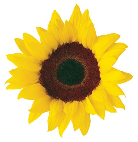 printable sunflower images free sunflower clipart jaxstorm realverse us