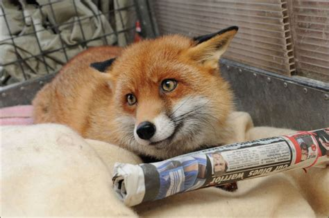 pet fox is just one of the family 12 pics izismile com