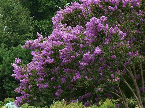flowering shrubs with purple flowers file a purple flowering bush jpg wikimedia commons