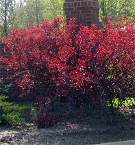 cistena plum flowering shrub cistena plum