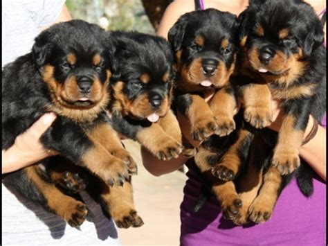 rottweiler puppies new beautiful and rottweiler puppies contact us at 302