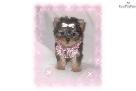 teddy bear cut for teacup yorkie yorkie teddy bear cut hairstylegalleries com