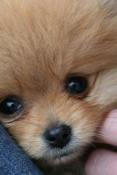 whats your hidden eye color quiz quotev litter of 3 chow chow pomeranian mix puppies for sale in
