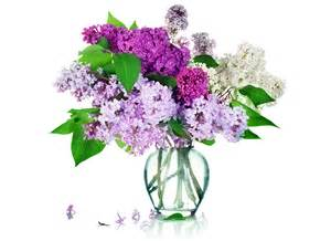flieder in vase photos lilac flowers vase