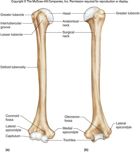 labeled bone diagram image gallery humerus labeled