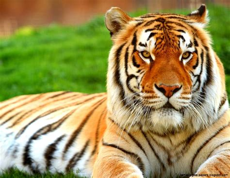 wallpaper tiger free download tiger wallpaper desktop amazing wallpapers