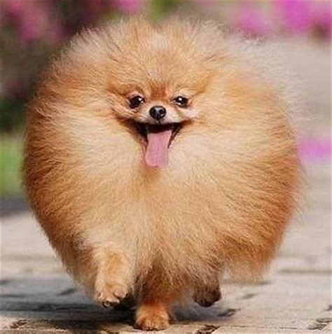 what do pomeranians like beautiful pomeranian wallpapers search doggies to