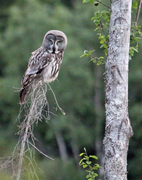 Standing Notes Owl oslo birder now for the story
