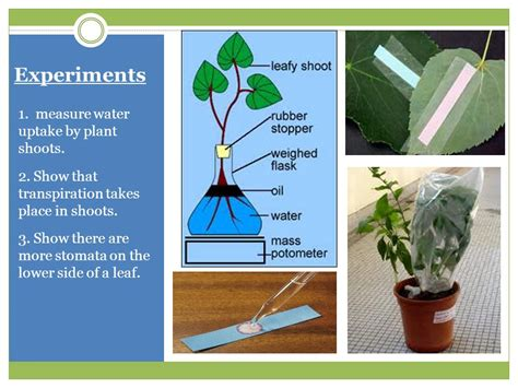 design experiment rate of transpiration plants transport in the xylem of plants ms frost a