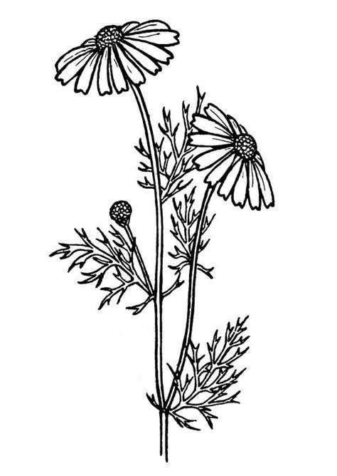 Página para colorir erva-de-São-Marcos - img 18850.